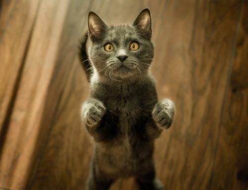 Une application créée pour traduire le langage des chats grâce au conversationnel